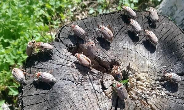 Майский-жук-насекомое-Описание-виды-образ-жизни-и-среда-обитания-майского-жука-4