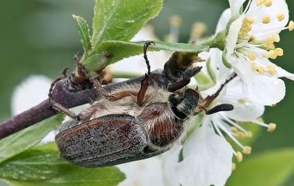 Майский-жук-насекомое-Описание-виды-образ-жизни-и-среда-обитания-майского-жука-5