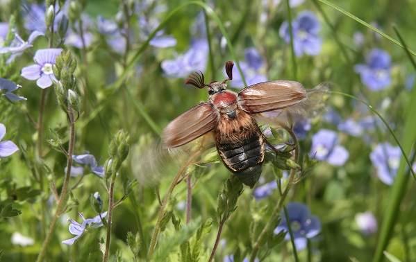 Майский-жук-насекомое-Описание-виды-образ-жизни-и-среда-обитания-майского-жука-6