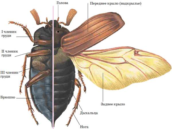Майский-жук-насекомое-Описание-виды-образ-жизни-и-среда-обитания-майского-жука-7
