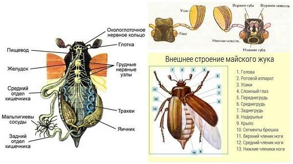 Майский-жук-насекомое-Описание-виды-образ-жизни-и-среда-обитания-майского-жука-9