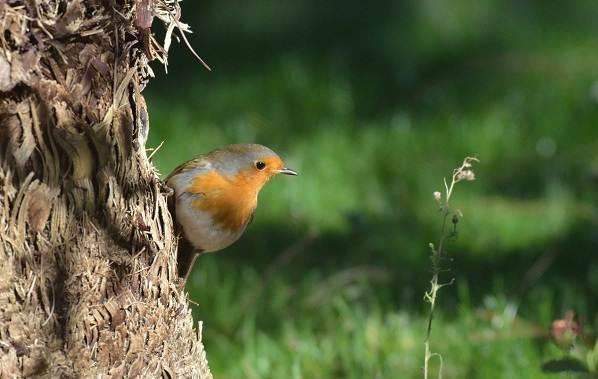 Малиновка-птица-Описание-особенности-виды-образ-жизни-и-среда-обитания-малиновки-1