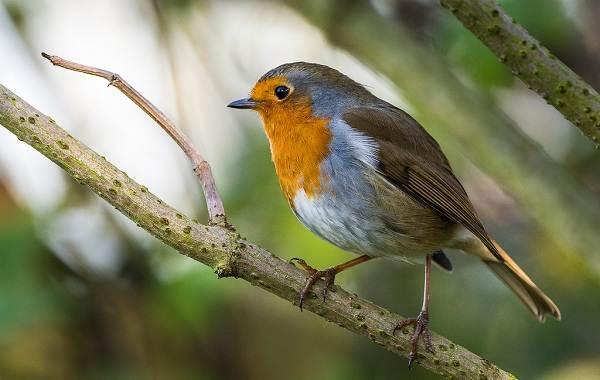 Малиновка-птица-Описание-особенности-виды-образ-жизни-и-среда-обитания-малиновки-10