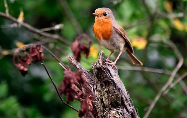 Малиновка-птица-Описание-особенности-виды-образ-жизни-и-среда-обитания-малиновки-11
