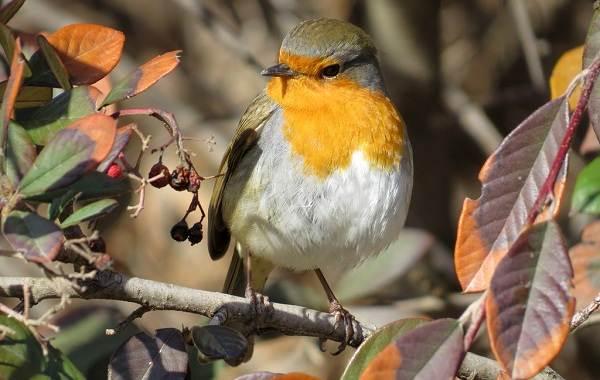 Малиновка-птица-Описание-особенности-виды-образ-жизни-и-среда-обитания-малиновки-15