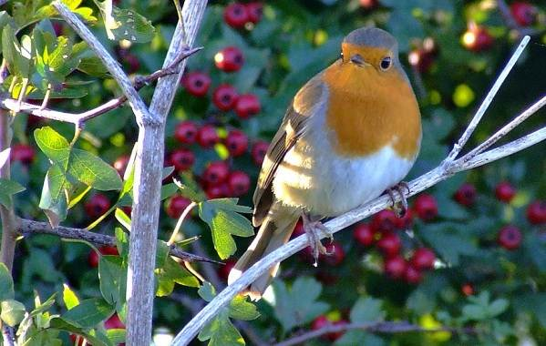 Малиновка-птица-Описание-особенности-виды-образ-жизни-и-среда-обитания-малиновки-16
