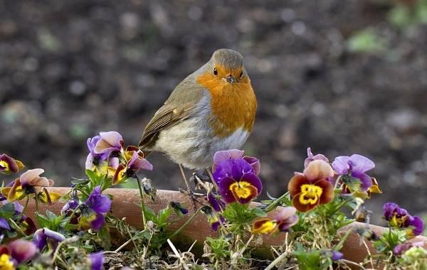 Малиновка-птица-Описание-особенности-виды-образ-жизни-и-среда-обитания-малиновки-18