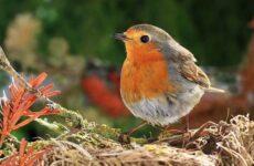 Малиновка птица. Описание, особенности, виды, образ жизни и среда обитания малиновки