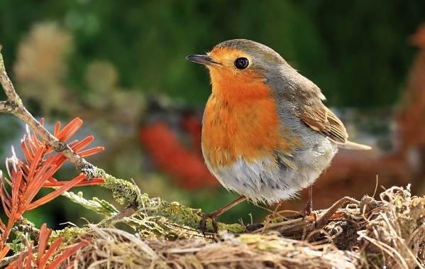 Малиновка-птица-Описание-особенности-виды-образ-жизни-и-среда-обитания-малиновки-2