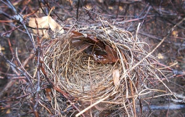 Малиновка-птица-Описание-особенности-виды-образ-жизни-и-среда-обитания-малиновки-20
