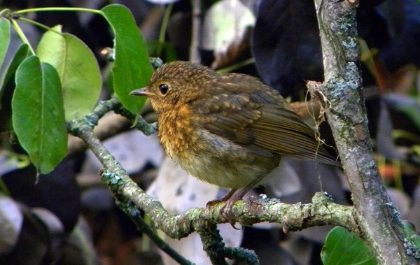 Малиновка-птица-Описание-особенности-виды-образ-жизни-и-среда-обитания-малиновки-21
