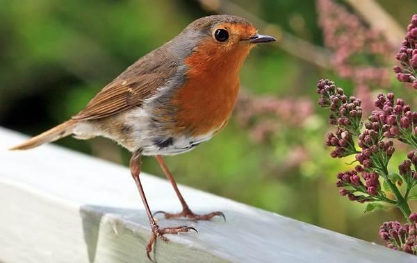 Малиновка-птица-Описание-особенности-виды-образ-жизни-и-среда-обитания-малиновки-3