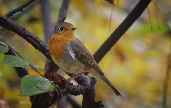 Малиновка-птица-Описание-особенности-виды-образ-жизни-и-среда-обитания-малиновки-5
