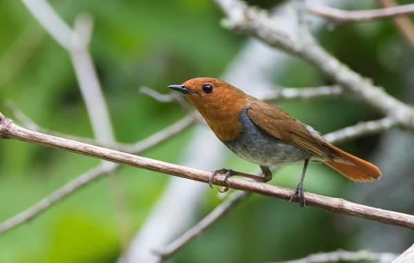 Малиновка-птица-Описание-особенности-виды-образ-жизни-и-среда-обитания-малиновки-6