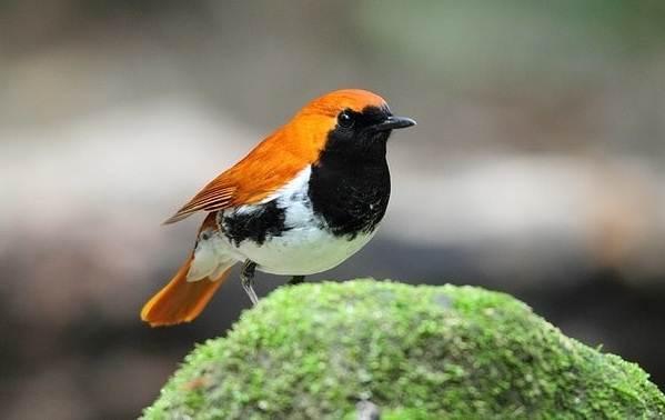 Малиновка-птица-Описание-особенности-виды-образ-жизни-и-среда-обитания-малиновки-7