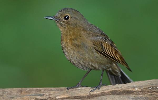 Малиновка-птица-Описание-особенности-виды-образ-жизни-и-среда-обитания-малиновки-8