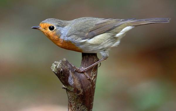 Малиновка-птица-Описание-особенности-виды-образ-жизни-и-среда-обитания-малиновки