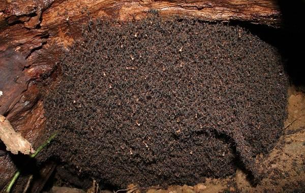 Муравей-насекомое-Описание-особенности-виды-образ-жизни-и-среда-обитания-муравья-10