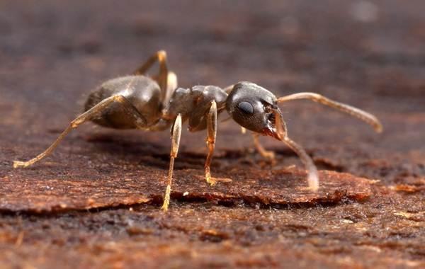 Муравей-насекомое-Описание-особенности-виды-образ-жизни-и-среда-обитания-муравья-11