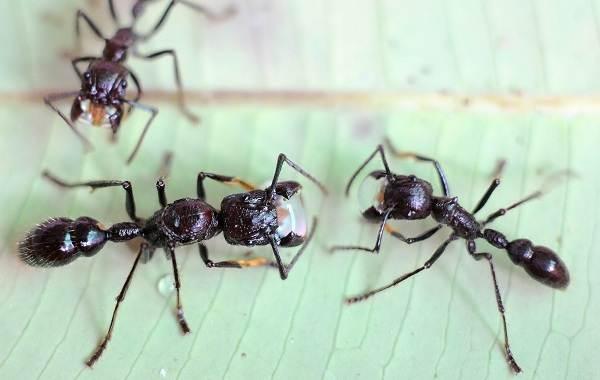 Муравей-насекомое-Описание-особенности-виды-образ-жизни-и-среда-обитания-муравья-12