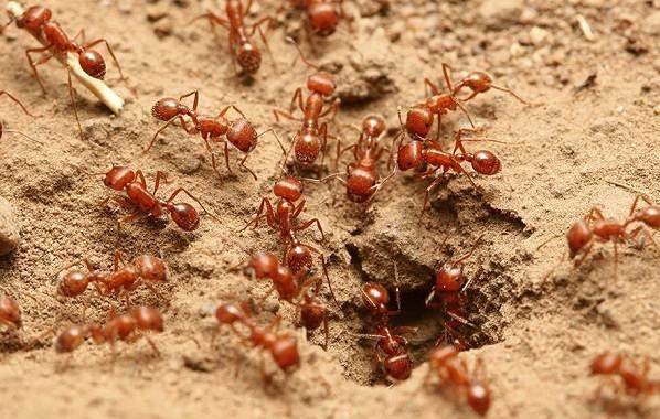 Муравей-насекомое-Описание-особенности-виды-образ-жизни-и-среда-обитания-муравья-13
