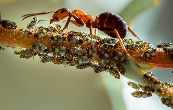 Муравей-насекомое-Описание-особенности-виды-образ-жизни-и-среда-обитания-муравья-15