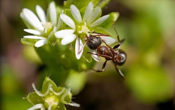 Муравей-насекомое-Описание-особенности-виды-образ-жизни-и-среда-обитания-муравья-16