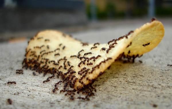 Муравей-насекомое-Описание-особенности-виды-образ-жизни-и-среда-обитания-муравья-17