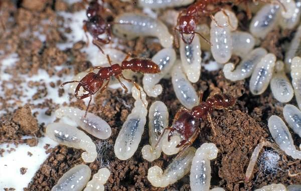 Муравей-насекомое-Описание-особенности-виды-образ-жизни-и-среда-обитания-муравья-19