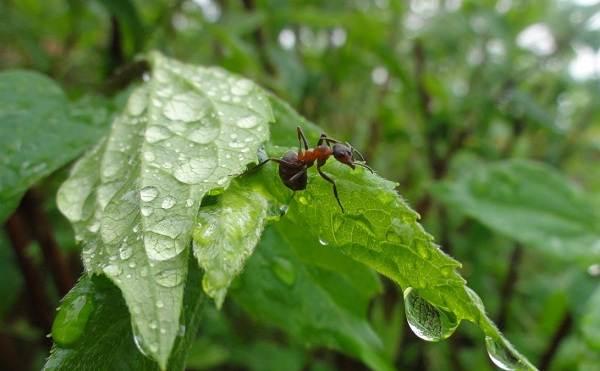 Муравей-насекомое-Описание-особенности-виды-образ-жизни-и-среда-обитания-муравья-2