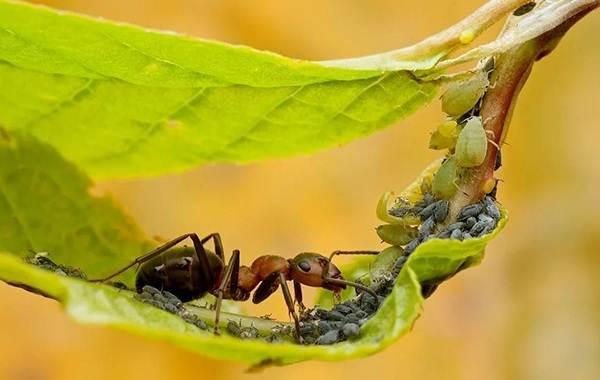 Муравей-насекомое-Описание-особенности-виды-образ-жизни-и-среда-обитания-муравья-21