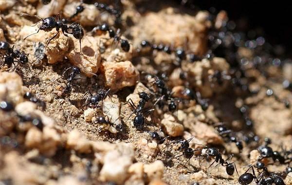 Муравей-насекомое-Описание-особенности-виды-образ-жизни-и-среда-обитания-муравья-3