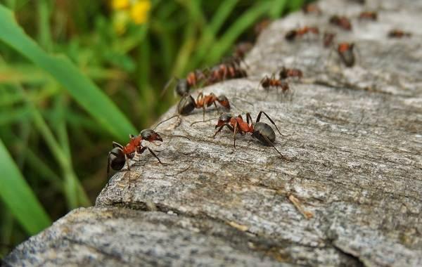 Муравей-насекомое-Описание-особенности-виды-образ-жизни-и-среда-обитания-муравья-5