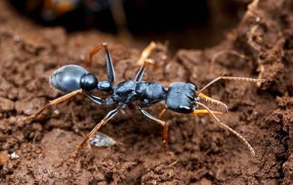 Муравей-насекомое-Описание-особенности-виды-образ-жизни-и-среда-обитания-муравья-9