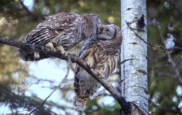 Неясыть-птица-Описание-особенности-виды-образ-жизни-и-среда-обитания-неясыти-10