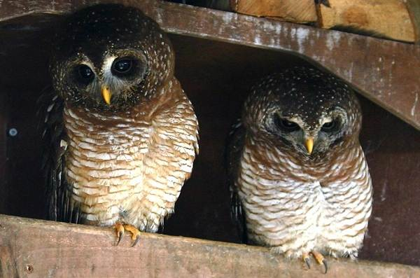 Неясыть-птица-Описание-особенности-виды-образ-жизни-и-среда-обитания-неясыти-11