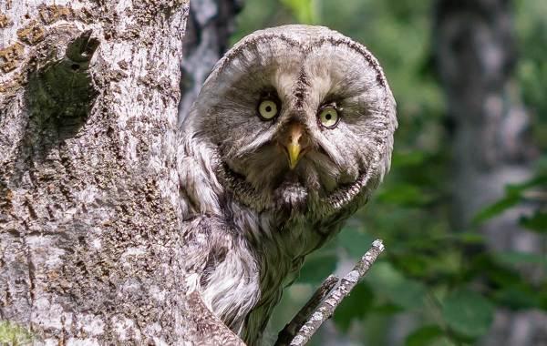 Неясыть-птица-Описание-особенности-виды-образ-жизни-и-среда-обитания-неясыти-12