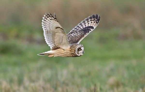 Неясыть-птица-Описание-особенности-виды-образ-жизни-и-среда-обитания-неясыти-13