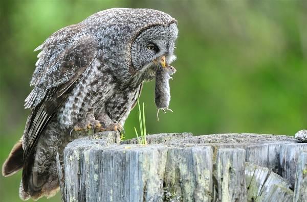Неясыть-птица-Описание-особенности-виды-образ-жизни-и-среда-обитания-неясыти-14