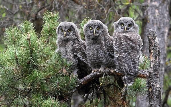 Неясыть-птица-Описание-особенности-виды-образ-жизни-и-среда-обитания-неясыти-15