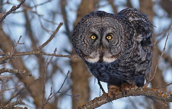 Неясыть-птица-Описание-особенности-виды-образ-жизни-и-среда-обитания-неясыти-16