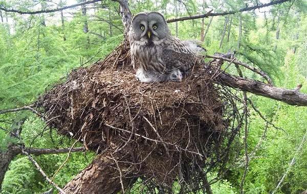 Неясыть-птица-Описание-особенности-виды-образ-жизни-и-среда-обитания-неясыти-17