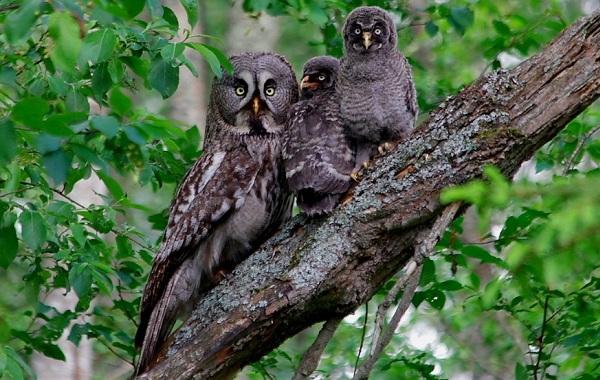 Неясыть-птица-Описание-особенности-виды-образ-жизни-и-среда-обитания-неясыти-18