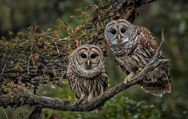 Неясыть-птица-Описание-особенности-виды-образ-жизни-и-среда-обитания-неясыти-19