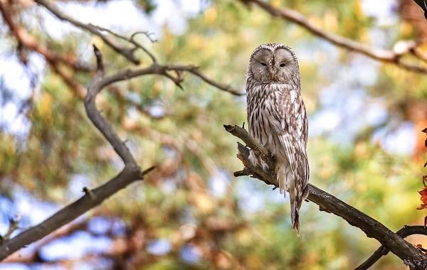 Неясыть-птица-Описание-особенности-виды-образ-жизни-и-среда-обитания-неясыти-2