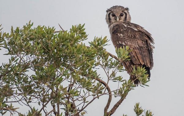 Неясыть-птица-Описание-особенности-виды-образ-жизни-и-среда-обитания-неясыти-20
