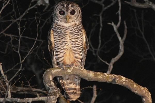 Неясыть-птица-Описание-особенности-виды-образ-жизни-и-среда-обитания-неясыти-5
