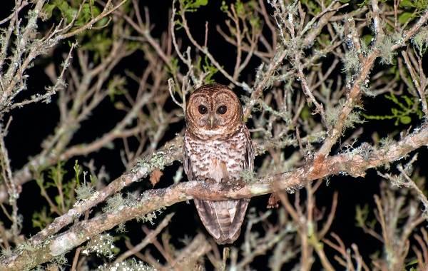 Неясыть-птица-Описание-особенности-виды-образ-жизни-и-среда-обитания-неясыти-6