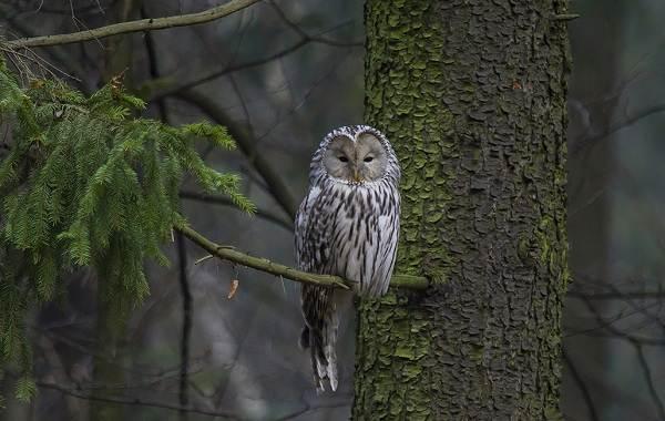 Неясыть-птица-Описание-особенности-виды-образ-жизни-и-среда-обитания-неясыти-7