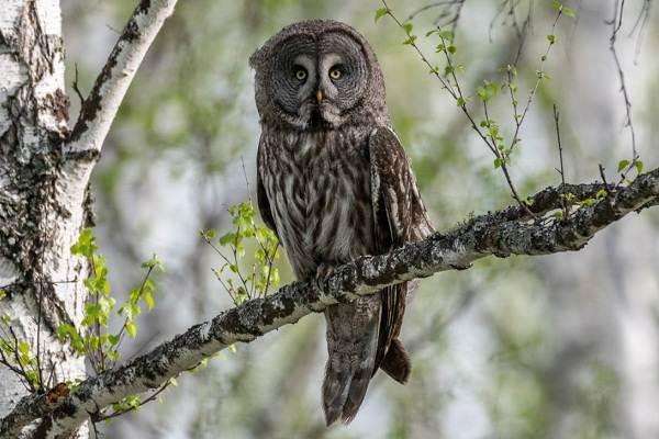 Неясыть-птица-Описание-особенности-виды-образ-жизни-и-среда-обитания-неясыти-9